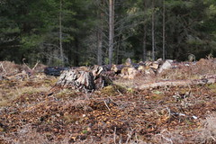 Cairngorms National Park (BSCG (Badenoch and Strathspey Conservation Group)) Tags: cb cnp felling clearfell landscape february pine pinus pinewood nativewoodland