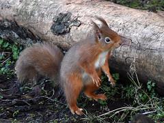 Red Squirrel (np1991) Tags: spynie loch moray scotland united kingdom uk nikon digital slr dslr d7200 camera nikor 70200mm 70 200 vr f28 lens red squirrel wildlife
