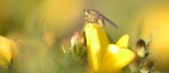 lack of focus (January dungfly) (conall..) Tags: gorse nikon afs nikkor f18g lens 50mm prime primelens nikonafsnikkorf18g closeup raynox dcr250 macro county down tullynacree nw551041 annacloy field northernireland flower yellowdungfly goldendungfly scathophaga stercoraria scathophagidae ulex europaeus bush shrub scrub desenfoque outoffocus narrow dof selective focus