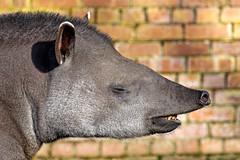 Snout (Maskedmarble) Tags: devon paignton zoo tapir