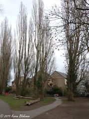 March 1st, 2019 Poplar trees (karenblakeman) Tags: caversham uk trees poplars floodalleviationscheme march 2019 2019pad reading berkshire houses footpath