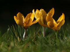 Crocus Flowers (ukstormchaser (A.k.a The Bug Whisperer)) Tags: crocus flower flowers uk plant plants wildlife nature milton keynes bucks buckinghamshire afternoon sunlight macro sunshine