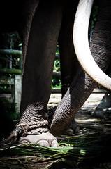 Remove this (Cédric Nitseg) Tags: slavery nikon asia abuse greelow slave voyage backpacking elephant backpacker eye travel oeil travelling asie thaïlande kohsamui d7000 animal éléphant thailand