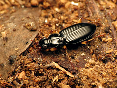 Shiny Carabid (treegrow) Tags: patrobuslongicornis carabidae beetle coleoptera rockcreekpark washingtondc nature lifeonearth raynoxdcr250 arthropoda insect