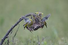 Groenling - Greenfinch - Carduelis chloris -5336 (Theo Locher) Tags: greenfinch groenling grünling verdierdeurope carduelischloris birds vogels vögel oiseaux netherlands nederland copyrighttheolocher