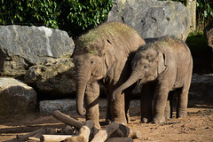 Asian Elephant (Elephas maximus) (Seventh Heaven Photography) Tags: asian elephant elephas maximus animal mammal indali male female chester zoo cheshire england nikond3200 anjan calf baby