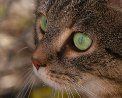 The eye of the Sethi (FocusPocus Photography) Tags: sethi katze kater cat tabby tier animal haustier pet portrait