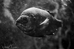 DSC_0071 (williamcrew378) Tags: fish maymont animals nature wildlife aquarium