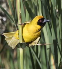 Southern Masked-Weaver (Ploceus velatus)-9526 (Dave Krueper) Tags: africa aves bird birds landbird passeriformes passerine ploceidae somw southafrica weaver