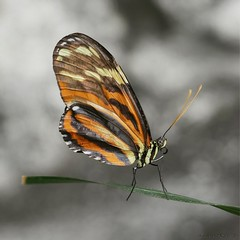 Lycorea cleobaea (da.da13) Tags: panasonic lumix dmcg80 olympus mzuiko ed 60mm f28 macro micro four thirds 43 nature butterfly insect lycorea cleobaea