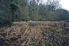Winter (Steven Tyrer) Tags: samyang12mm forestfarm cardiff reeds water winter