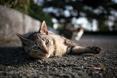 猫 (fumi*23) Tags: ilce7rm3 sony sel35f28z sonnar a7r3 animal katze gato bokeh neko cat chat 35mm sonnartfe35mmf28za ねこ 猫 ソニー