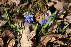 Blaustern / squill (scilla) (HEN-Magonza) Tags: botanischergartenmainz mainzbotanicalgardens rheinlandpfalz rhinelandpalatinate deutschland germany frühling spring flora blaustern squill scilla