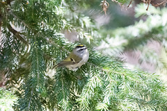 Golden-crowned Kinglet. USA Sept 2017-00689 (Peter-D-Smith) Tags: canonef100400mmf4556lisusm canoneos5dmkiii colorado glaciergorgejunction glaciergorgejunctiontrailhead glaciergorgeandthelochtrails goldencrownedkinglet regulussatrapa rockymountainnationalpark september2017 usa