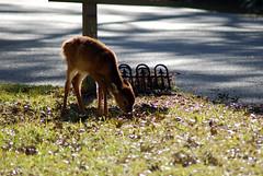 deer (Fido Cat) Tags: nature frippisland southcarolina birds storks woodstork herons greenheron midnightheron egret