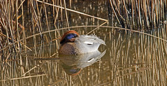 asleep - male Teal (Anas crecca) - RSPB Exminster Marshes - Exeter, Devon - Jan 2019 (Dis da fi we) Tags: asleep rspb exminster marshes exeter devon anas crecca teal