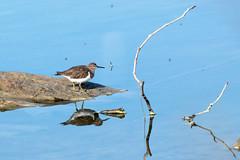 bécasseau et moustiques (guy dhotel) Tags: oiseau étang bécasseau moustiques reflets