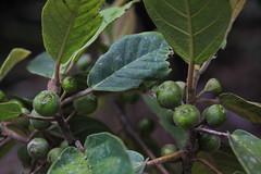 Ficus mollior Moraceae Sandpaper Fig 1017 02 K Tree Road Malanda (John Elliott Townsville) Tags: athertontableland ficus ficusmollior moraceae sandpaperfig ktreeroad galleryarf arfp qrfp tropicalarf lowlandarf uplandarf arffs greenarffs
