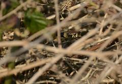 something in the brambles.. (willjatkins) Tags: wildlife animal nature wildlifeofeurope europeanwildlife reptiles reptile reptilesofeurope europeanreptiles snakes snake snakesofeurope europeansnakes grasssnake natrix natrixnatrixhelvetica natrixhelvetica britishwildlife britishamphibiansandreptiles britishreptilesandamphibians britishreptiles britishsnakes ukwildlife ukreptilesandamphibians ukamphibiansandreptiles ukreptiles uksnakes naturereserve springwildlife nikond7100 nikon 18300mm