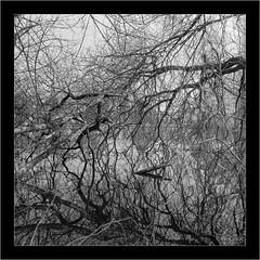 Hasselblad 500 C/M, Distagon 3.5/60mm, Rollei Superpan 200 (Dierk Topp) Tags: 6x6 bw bäume hasselbladdistagon3560mm rodinal rolleisuperpan200 analog hasselblad500cm herrenteich leicamacroelmaritr6028 monochrom reinfeld sw sony trees