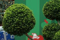 DSC00639- Green Wishing (oliveplum) Tags: poinsettiawishes2018 christmas leica60f28macro gardensbythebay flowerdome marinabay sony singapore plant green
