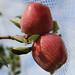 Macintosh apples on tree