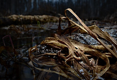 Western Chorus Frog (Pseudacris triseriata) (Alex Roukis) Tags: wildlife fieldherping frog herping herpetology nature n newyork newyorkwildlife wild wildlifephotography amphibian centralnewyork upstate alexroukis chorusfrog westernchorusfrog senecacounty fingerlakes westernnewyork pseudacristriseriata swamp wetland newyorkherping