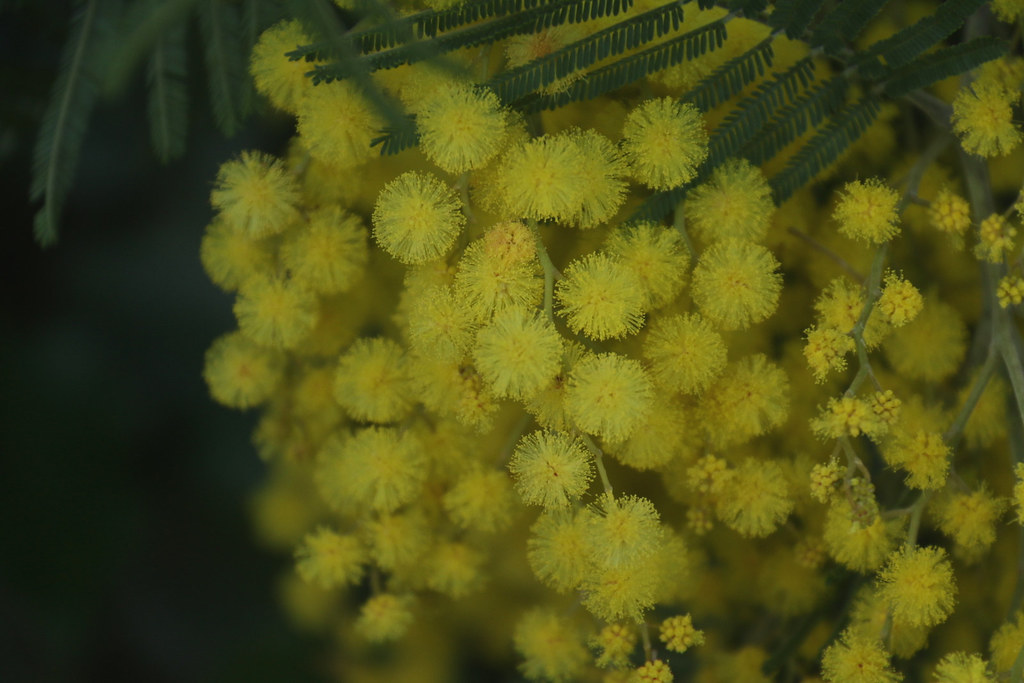 The World S Most Recently Posted Photos Of Fleurs And Mimosa