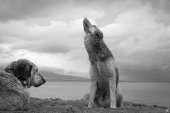 Stray dogs (tzevang.com) Tags: bythesea bw beach mood greece piraeus stray dog dramaticsky