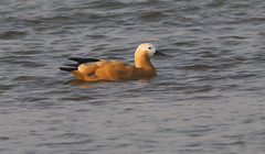 Ruddy Shelduck (vischerferry) Tags: ruddyshelduck duck waterfowl chambalriver india bird