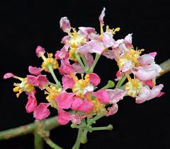 2019-03-04 Banisteriopsis caapi - BG Teplice (beranekp) Tags: czech teplice teplitz botanik botany botanic herbarium herbary herbář garden garten flora flower plant banisteriopsis ayahuasca