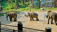 2019-02-11_09-44-09_ILCE-6500_DSC02054_DxO (Miguel Discart (Photos Vrac)) Tags: 2019 70mm animal animalphotography animals animalsupclose animaux chiangmai createdbydxo dxo e18135mmf3556oss editedphoto elephant focallength70mm focallengthin35mmformat70mm hdr hdrpainting hdrpaintinghigh highdynamicrange holiday ilce6500 iso100 nature naturephotography pet pictureeffecthdrpaintinghigh sony sonyilce6500 sonyilce6500e18135mmf3556oss thailand thailande travel vacances voyage