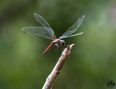 Kiss of the dragon (vliege) Tags: dragonfly nikon photography nikond500 curacao nature insect caribbean
