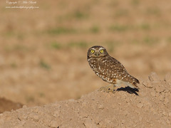 Burrowing Owl (Athene cunicularia) (www.mikebarthphotography.com 2M Views thanks !) Tags: athenecunicularia burrowingowl