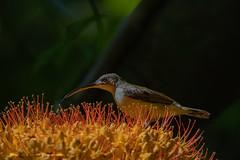 Little spiderhunter (Arachnothera longirostra) (My Shutter World) Tags: birds birdphotography nature naturephotography nationalgeographic