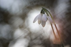 En duo (donlope1) Tags: macro nature light flower fleur snowdrop plant proxy wild wildlife bokeh