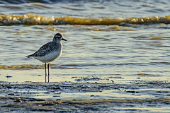 Grey Plover (ianbartlett) Tags: outdoor 365 nature wildlife flight birds landscapes water sea monochrome shadows tide lines groyne jellyfish
