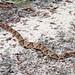 Copperhead Snake 5877