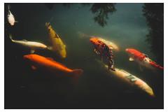 School of Koi Fish - Chanticleer - Wayne PA_Web 1-Scaled-QXE (johann.kisaame) Tags: botanicalgardens chanticleergardens fineart fish gardens golden koifish luminance orange pennsylvania philadelphia philadelphiasuburbs reflection shadows sunlight white artistic ethereal murky pond reflections ripples scales water topf25