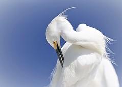 Snowy Egret (hennessy.barb) Tags: egret snowyegret egrettathula preening wadingbird