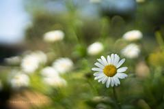 Daisy (Daniela Romanesi) Tags: 09811 margarida daisy green garden jardim jardinagem paisagismo fazenda grama plantação floricultura flores flowers white petals pétala verde campo