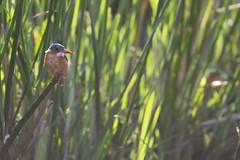 Kenya - Oiseaux - Martin Pêcheur - 2014 (plambert13180) Tags: afrique kenya martinpecheur meltingpotsafari oiseaux