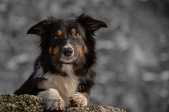 the look (Flemming Andersen) Tags: dog bordercollie outdoor portrait yatzy pet animal kraków lesserpolandvoivodeship poland pl