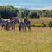 Spotted Hyena vs Grant's Zebra, Maasai Mara