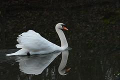 Sa Majesté le Cygne (Instant_T) Tags: cygne cygnus swan oiseau oiseaux bird birds wildbird wild wildphotography eau water etang lac white whiteswan majesté majestueux reflet