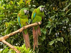 Rotbugaras (Eerika Schulz) Tags: rotbugara ara severus severa chestnut fronted macaw maracaná grande ecuador puyo yana cocha eerika schulz