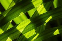 Shades - Yellow And Green (Modkuse) Tags: fujifilmmacro nopostprocessing yellow green palm areca arecapalm macro macrophotography macrolens art artphotography artistic fineartphotography fineart photoart provia fujiprovia fujifilmxt2provia fujifilmxt2proviasimulation fujifilm fujifilmxt2 xt2 80mmmacro