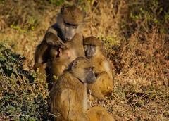 Chobe Family (cor_64) Tags: botswana baboon family chobenp wildlife nature