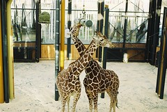 (SaintPaula) Tags: zoo tiger giraffes film filmisnotdead fimphotography vienna austria animals photos