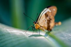 Botanischer Garten in München (Muenocchio) Tags: botanischergarten munich münchen butterfly schmetterling mariposa